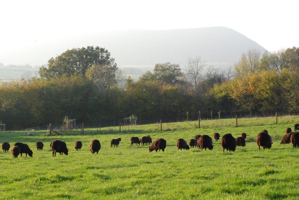 Black Welsh lamb in the fields