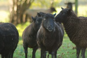 Sheep | Black Welsh Lamb