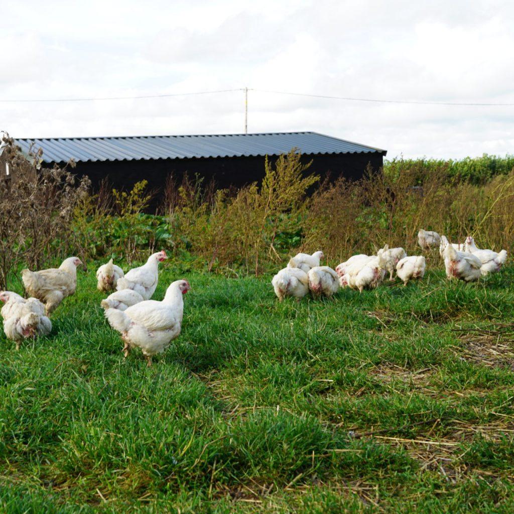 Castlemead chickens in a field