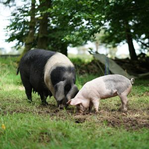Is pork healthy? | A sow with one of her piglets