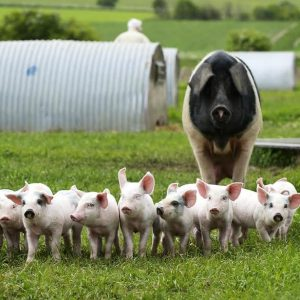 Is pork healthy? | Organic farm