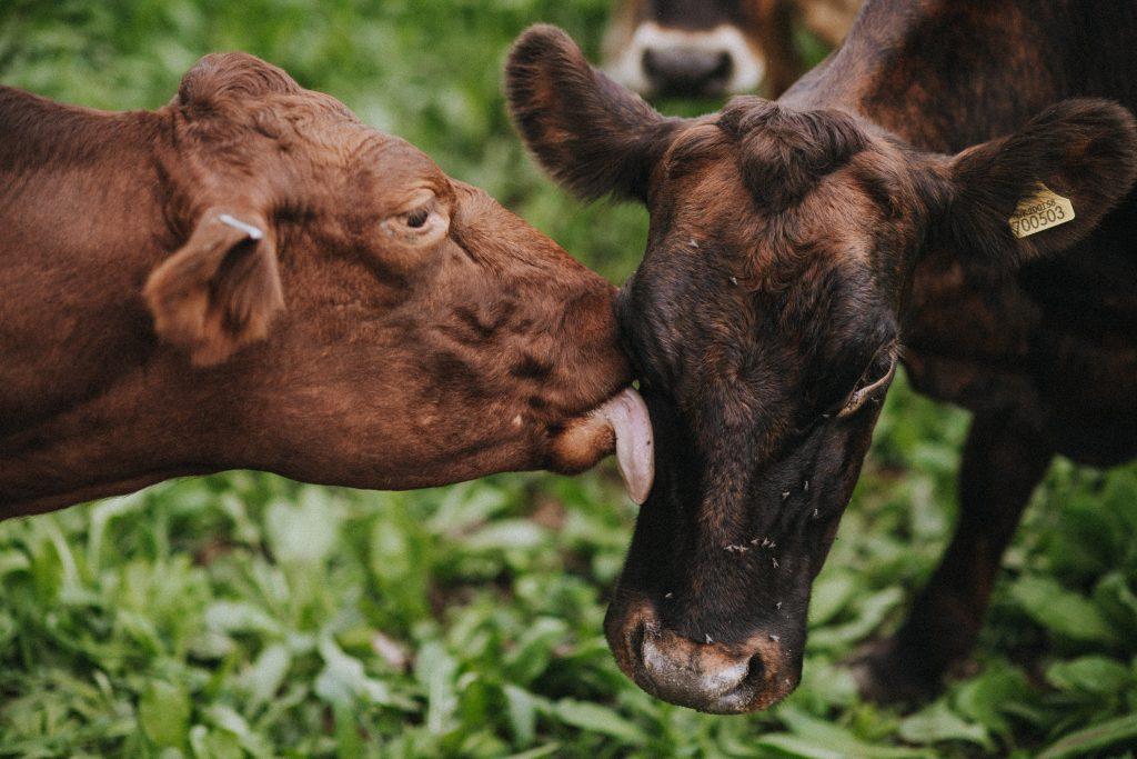 Taw River Dairy   Cows   Matt Austin