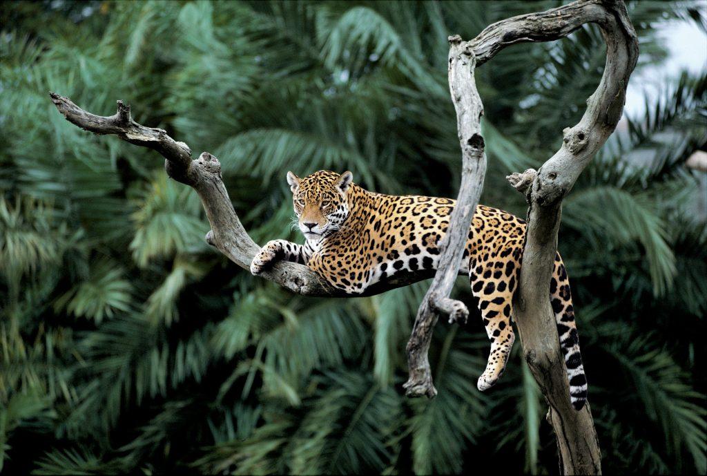A jaguar in self-isolation in Brazil | © Y.-J. Rey-Millet / WWF