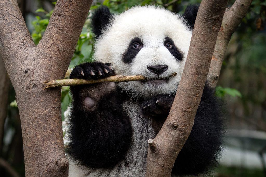A giant panda | © Sharon Fisher