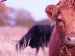 Rosewood farm cattle