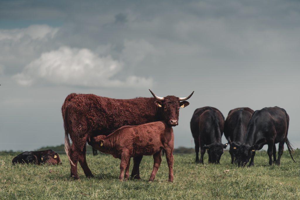 Regenerative organic farming | Cows | Gut & Bösel