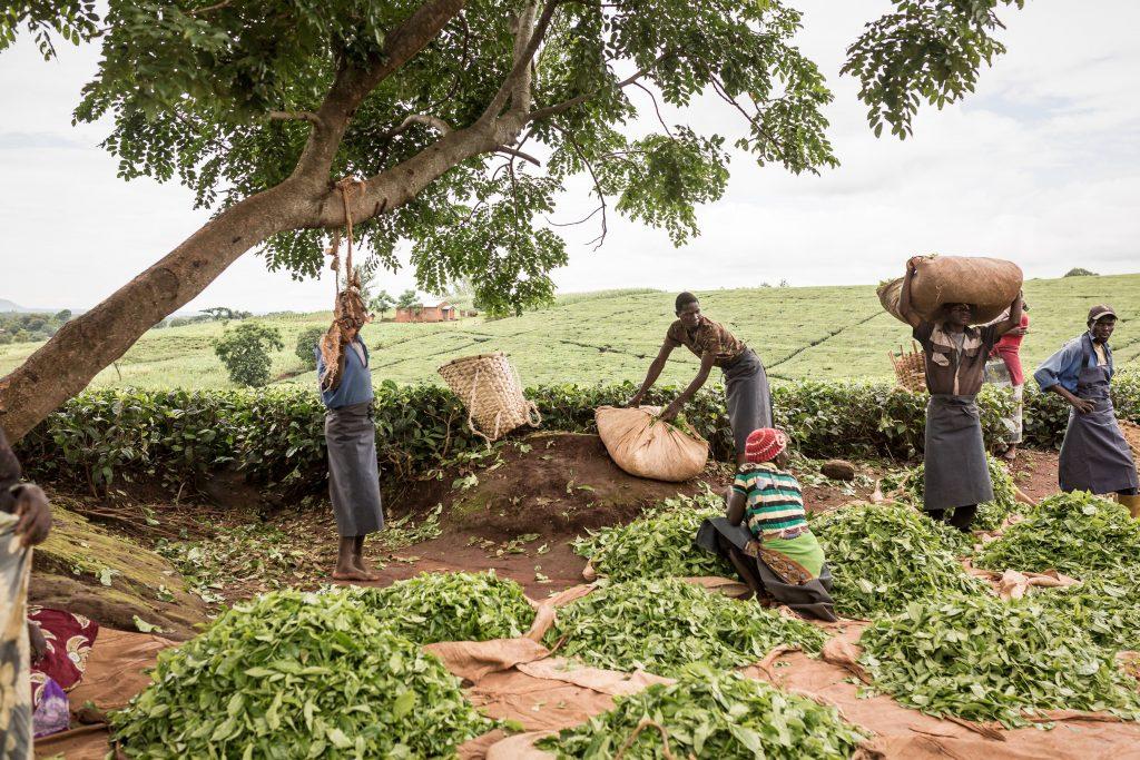 Tea farmers, Malawi