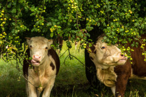 Cotswold Beef cows eating