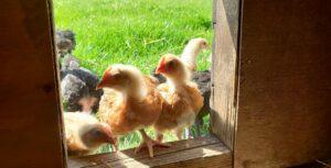 Fosse Meadows Chicken
